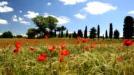 Poppy flowers barley Italian farmhouse Tuscany Italy Europe