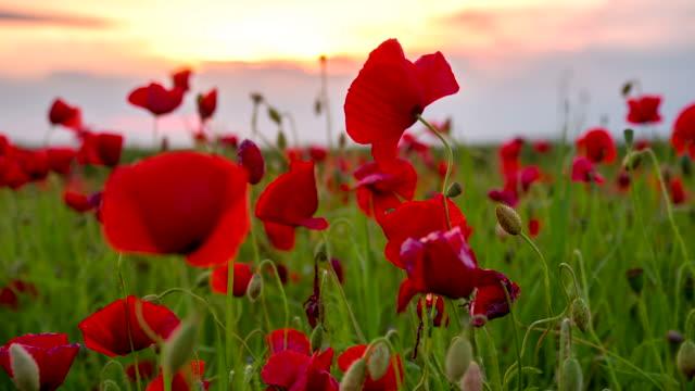 CU DS Mohn Blumen