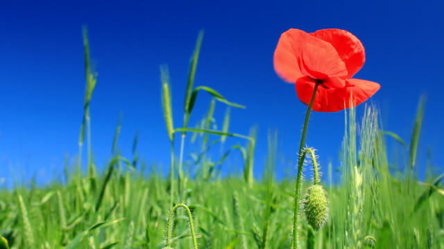 Poppy on green field