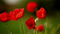 Mohn Blumen