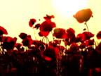 Poppys im Sonnenuntergang