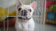 Portrait french bulldog in the cage.