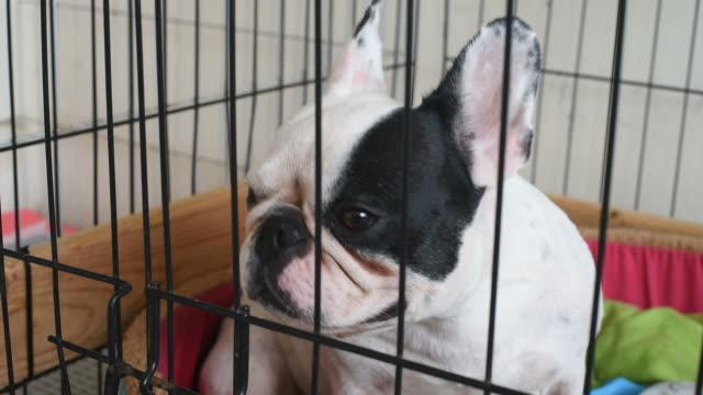 Porträt französische Bulldogge in den Käfig.