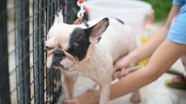 Porträt französische Bulldogge unter der Dusche.