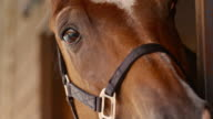 SLO MO TU Portrait of a bay horse