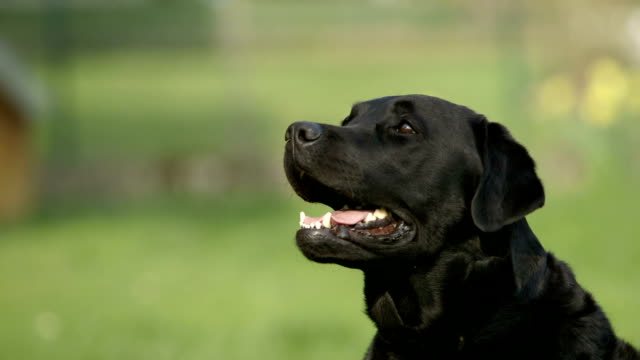 portrait of a black labrador retriever dog - medium shot