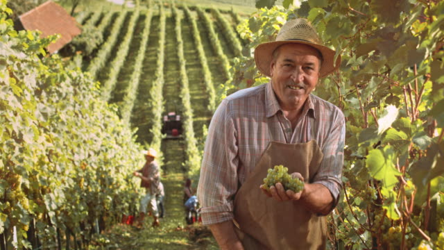 DS Portrait of a senior winegrower in vineyard at harvest