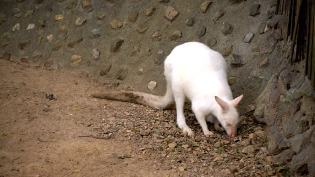 Portrait of a white albino wallaby kangaroo