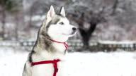 Portrait of Siberian Husky on the background of snowy landscape.