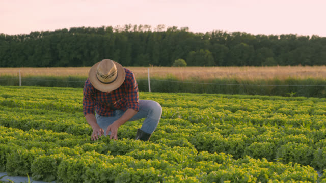 DS Portrait of vegetable grower posing on a field of lettuce
