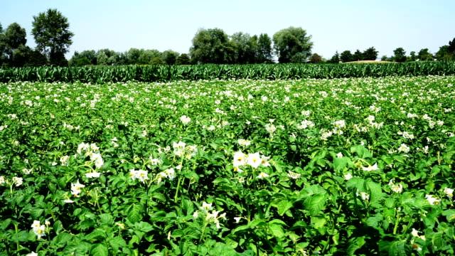 Potato Field in bloom