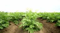 potato field with plants