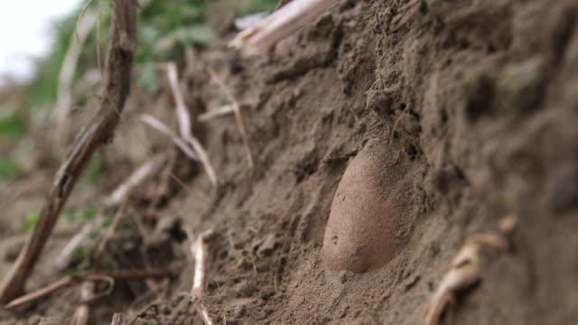 Potato In Ground