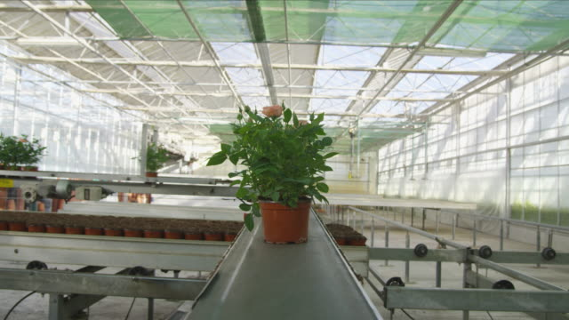 POV MS pots with rose bushes moving on conveyor belt in industrial nursery, RED R3D 4K
