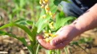 SLO MO Eingießen Corn Mais von einer Seite zu einer anderen
