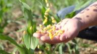SLO MO Eingießen Corn Mais in der Hand