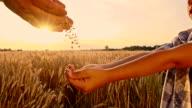SLO MO gießen Getreide Mais in Kind Hände