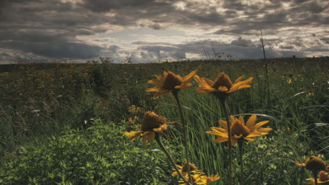 WS Prairie with Corn Marigold (Chrysanthemum segetum) in foreground, Kansas, USA