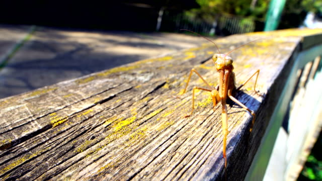 Praying mantis in wood fence