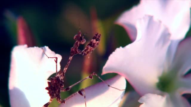 A praying mantis on a flower/ Etosha national park/ Namibia