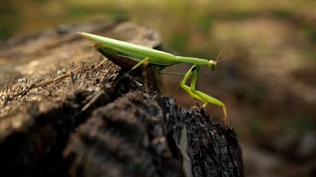 Praying mantis on the tree trunk in forest
