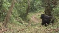 A pregnant gorilla walks across a forest trail. Available in HD.