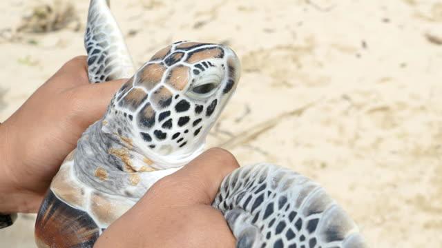 Preparing to release sea turtles
