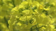 Pretty yellow blossoms bloom on rapeseed plants.