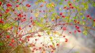 prickly branches of rose hips