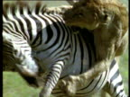 Pride of lionesses hunt zebra, one gets trampled during hunt