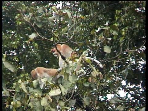 Proboscis Monkeys (Nasalis larvatus) mating in tree, Kinabatangan River, Sukau, Malaysia