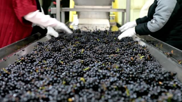 Bearbeitung Pinot Trauben zu Wein