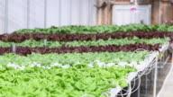 MS TU TD Produce in Hydroponic Lettuce Farm Greenhouse / Richmond, Virginia, United States