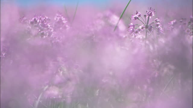 A profusion of beautiful Rakkyo flowers blooms in a meadow.