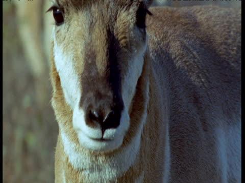 Pronghorn antelope looks around then walks away, Montana