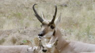 MS PAN Pronghorn mating in field / Wind Cave National Park, South Dakota, United States