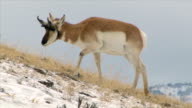 Pronghorn, ram, on snowy hillside, Yellowstone National Park in winter