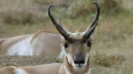 MS Pronghorn resting and chewing grass / Wind Cave National Park, South Dakota, United States