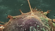 Prostate cancer cell division
