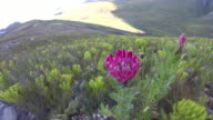 Protea Flower in the wild