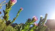 Proteas in the wild