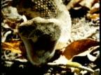 CU Puff Adder, Bitis arietans, front view, head on leaf litter, opens mouth wide, Kenya