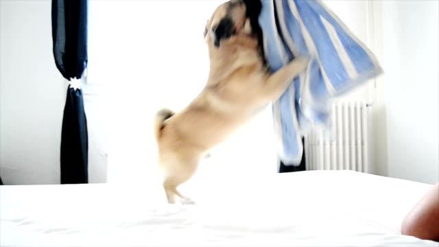 Pug dog playing. Slow motion
