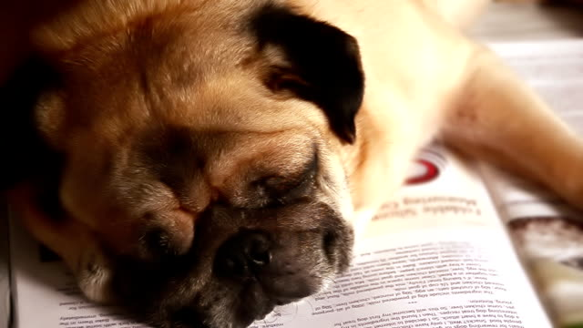Pug dog Sleeping