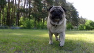 Pug is running behind the camera. Slow Motion.