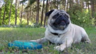Pug lying on the grass with a frisbee.