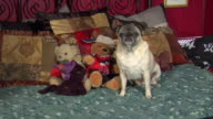 MS, Pug with stuffed animals on bed, New York City, New York, USA