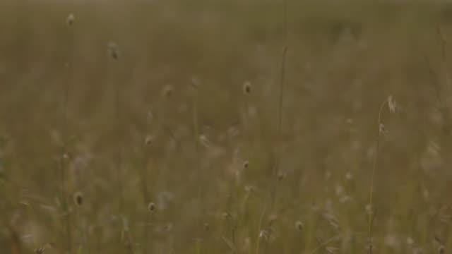 Pull focus across long nutrient-rich grass in the Serengeti, Tanzania.