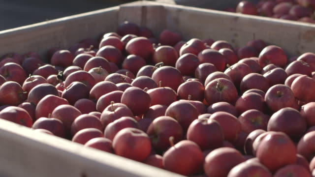 Pull focus and pan onto crates piled high with Royal Gala apples at an orchard in Kent, UK.