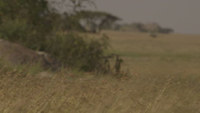 Pull focus between nutrient-rich grass in the foreground and bushes, rocks and a tree in the background on the Serengeti, Tanzania.